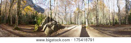 Beech forest in autumn, Ordesa National Park, Pyrenees, Huesca, Aragon, Spain.