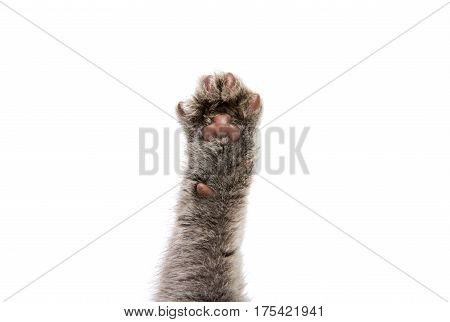 foot gray kitten on a white background