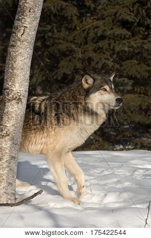 Grey Wolf (Canis lupus) Steps Out from Behind Tree - captive animal