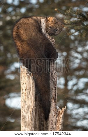 Fisher (Martes pennanti) Curled Around Hollow Tree - captive animal