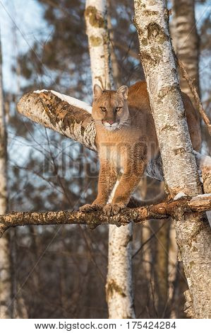 Adult Female Cougar (Puma concolor) Stands High in Trees - captive animal
