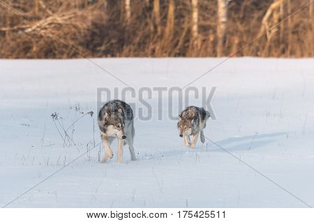 Grey Wolf (Canis lupus) Looks Back at Sibling - captive animals