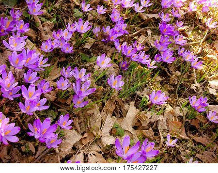 blooming spring flowers crocus in the forest