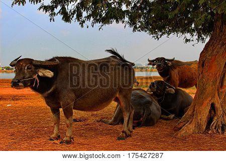 Buffalo is a tool for farming.Buffalo is the backbone of the peasants.