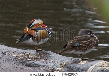 Pair of mandarin ducks (Aix galericulata) resting on one leg at the waterside. male and female on left and right respectively.