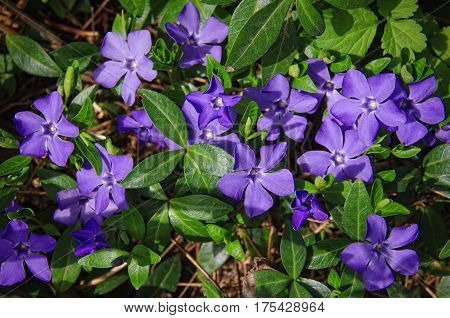 Periwinkle plant with green leaves and blue flowers in forest