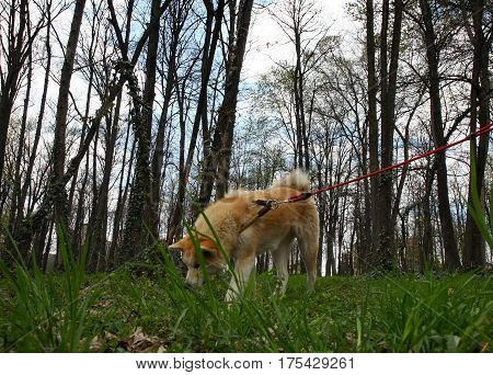 Akita dog walking and sniffing in the forest