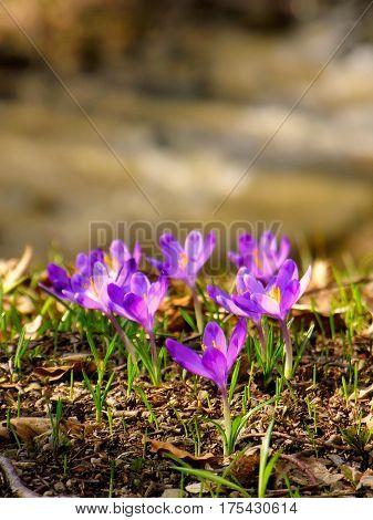 The crocuses family in the spring forest