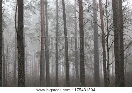 spring pine forest covered milky fog look like in fantasy dream
