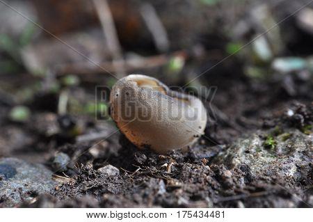 Black Mushroom Cup Fungi, Helvella leucomelaena, little mushroom cup