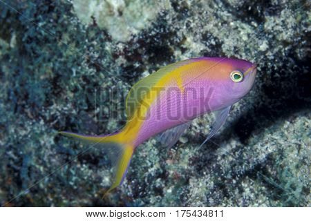 A rare Bartlett's Anthias, Pseudantias bartlettorum on a coral reef at the Kwajalein Atoll in the Pacific