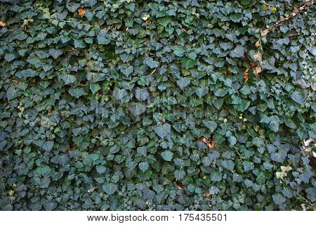 the background and texture from green leaves of the ivy which has overgrown the stone