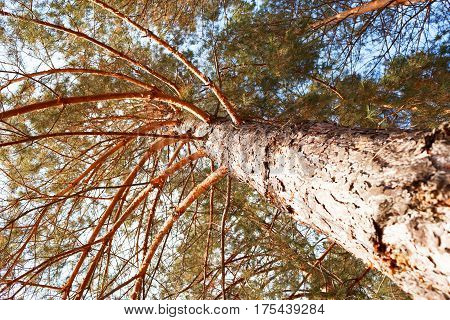 Species Of A Tree Of A Pine From Below
