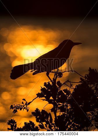 Silhouette of Red-winged Blackbird (Agelaius phoeniceus). Black bird is sitting on a branch. Wildlife scene from Florida, USA. Spring day on the meadow.