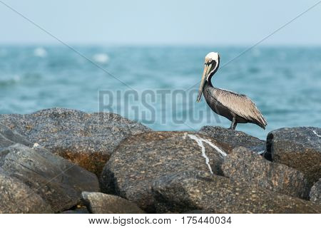 Immature Brown Pelican (Pelecanus occidentalis) is resting on the rock.