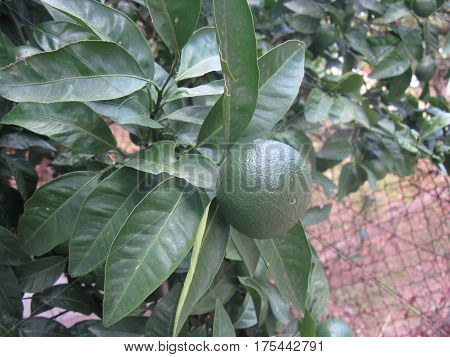 Ripening mandarin (maturing mandarin) on the tree