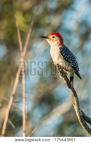 Red-bellied woodpecker (Melanerpes carolinus) is sitting on the branch. Wildlife scene from Florida, USA. Spring day on the meadow.