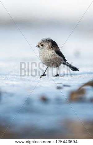 Long-tailed Tit (Aegithalos caudatus) on the ground in the winter time.