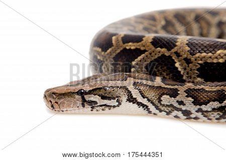 Burmese Python, Python molurus bivittatus, isolated on white background