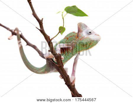 The veiled chameleon piebald, Chamaeleo calyptratus, female isolated on white background
