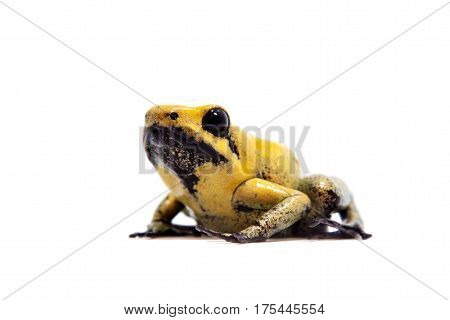 Black-legged poison frog, Phyllobates bicolor, on white, on white background.