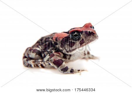 The Beautyful toad, isolated on white background