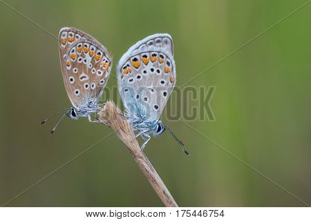 Photo of two butterflies (Polyommatus icarus) on flower.