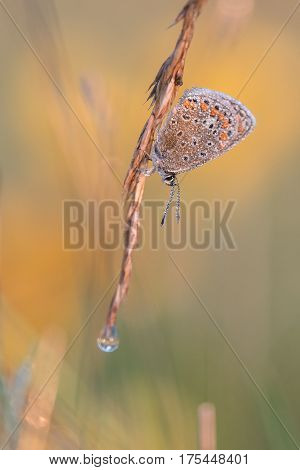 Photo of butterfly (Polyommatus icarus) on flower. with an orange background.