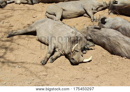 Warthog, Wild Animal, Wildlife Nature, Sleeping, Safari