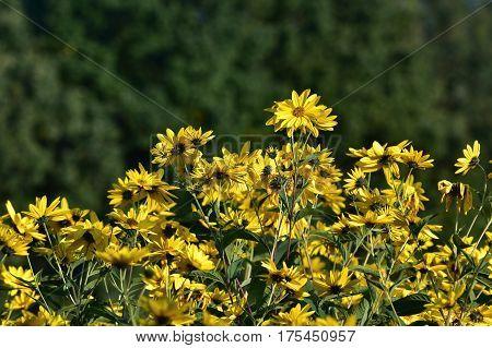 Jerusalem artichoke -Helianthus tuberosus is yellow eatable plant
