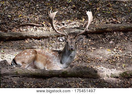 fallow deer - Dama dama in its environment