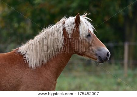 cute blonde horse in front of camera