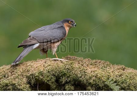 Sparrowhawk (Accipiter nisus) perched in the centre of a forest clearing