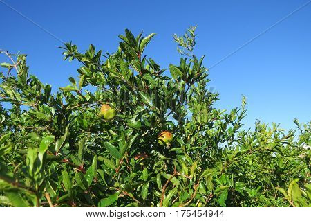 Ripening granet (maturing pomegranate) on the pomegranate tree