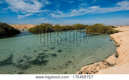 Unusual Mangrove forest and young mangrove trees in the desert in Ras Muhammad National Park in Sinai Egypt.