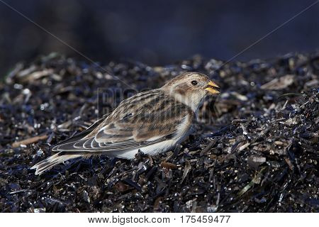 Snow bunting looking for food in its habitat