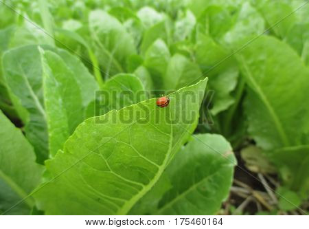 One red ladybug walking on the vibrant green vegetable leaf with morning dew, close-up