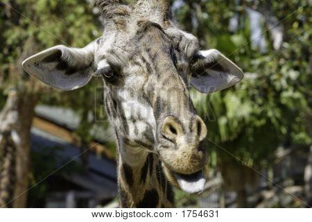 Close up of a Ugandan Giraffe sticking it's tonge out poster
