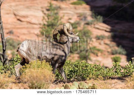 a nice desert bighorn sheep ram in the Utah desert