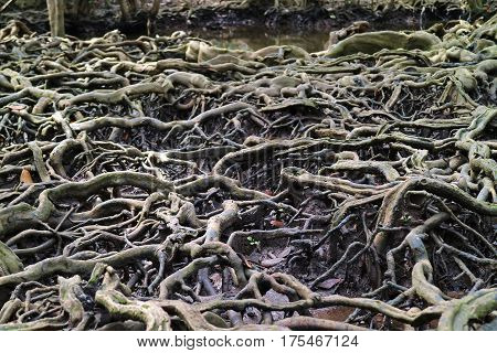Amazing Mangrove Forest Tree Roots in Trat Province, Thailand