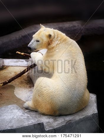Photo of a white bear in winter on snow