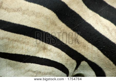 A skin closeup of beautiful background of real black and white Zebra stripes in rain poster