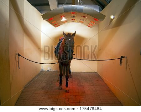 Purebred racehorse sunbathing in special solarium for horses