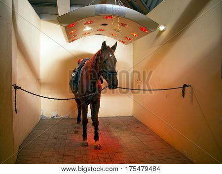 Racehorse sunbathing in special solarium for horses