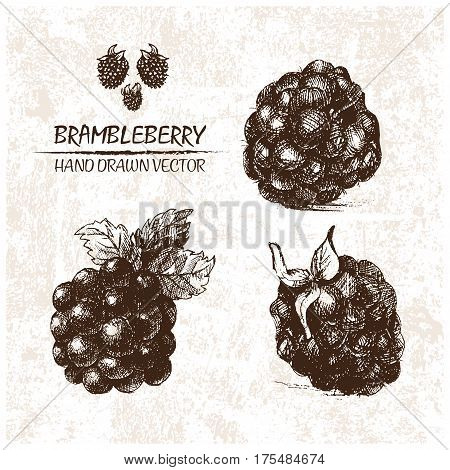Digital vector detailed brambleberry hand drawn retro illustration collection set. Thin artistic linear pencil outline. Vintage ink flat style engraved simple doodle sketches. Isolated objects