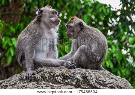 Balinese Macaques In Monkey Forest In Ubud, Bali