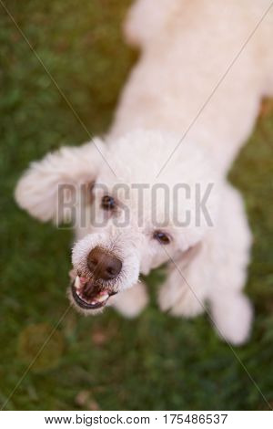Mouth Of Barking White Poodle