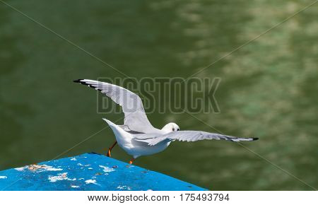 A seagull during the start. Seagull in flight