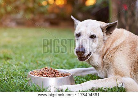 Brown Shepherd Closeup Eating From Metal Bowl