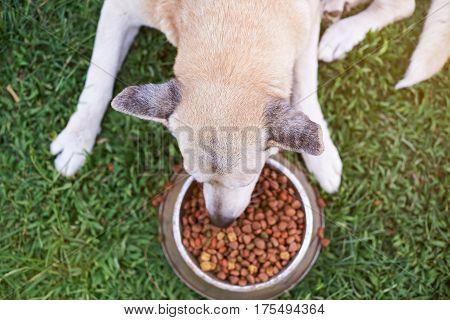 Eating Shepherd Dog
